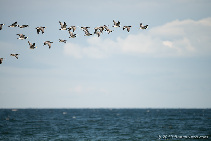 Bramgås (Branta leucopsis - Barnacle Goose)