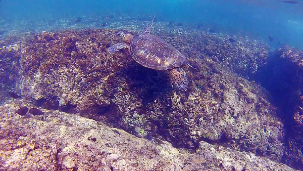 HawaiianSeaTurtleHD_T-103.4.mov