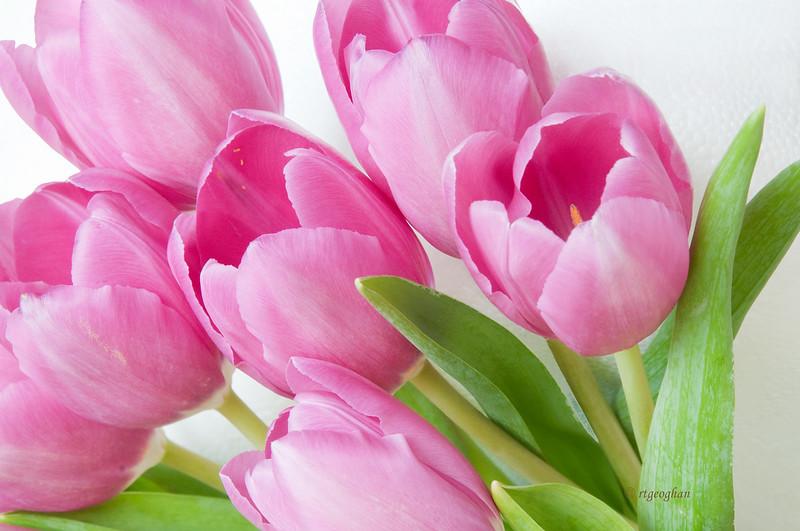 Pink Tulips_Mar24_0525.jpg