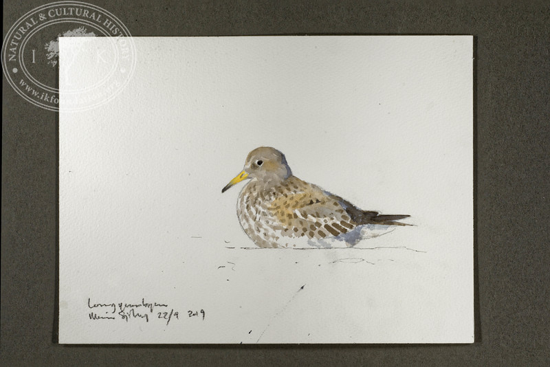 """Purple sandpiper at the Longyear River mouth   22.9.2019   """"I want to convey what I see with immediacy and simplicity to make the viewer feel present on the Arctic scene.""""   Måns Sjöberg."""
