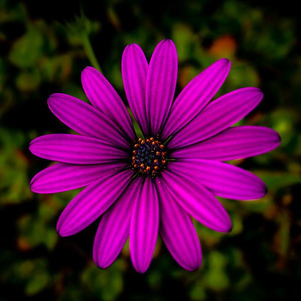 May 7 - South African daisy.jpg
