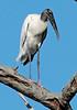Wood Stork - Meade Garden