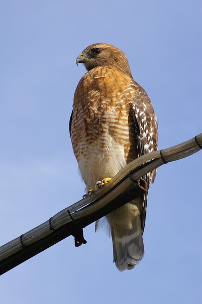 Hawk at JICP