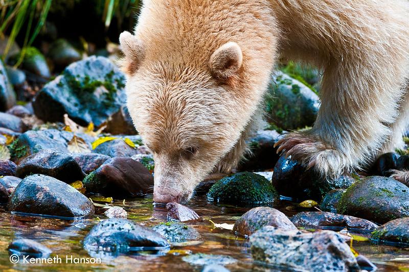 Spirit bear sipping from stream