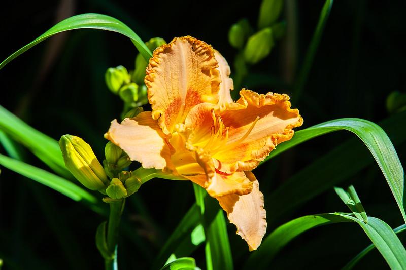 20190714 Daylilies and Flowers-6424.jpg