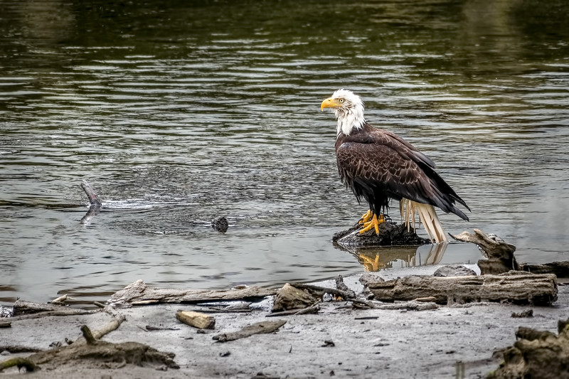 D85 4347 eagle sitting.jpg