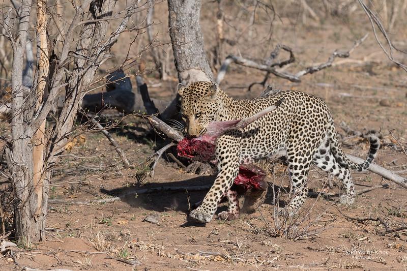 Leopard (Anderson), Sabi Sands (EP), SA, Oct 2016-5.jpg
