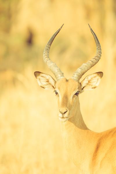 Deer-like Creature in Africa