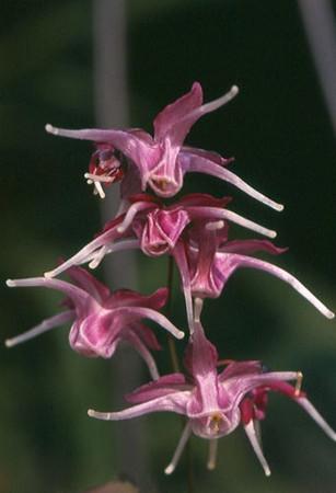 Epimedium grandiflorum 'Queen Esta'