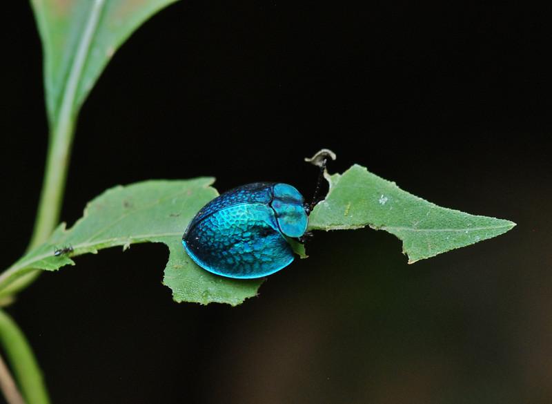 Metallic Tortoise Beetle, AK Guyana 2011