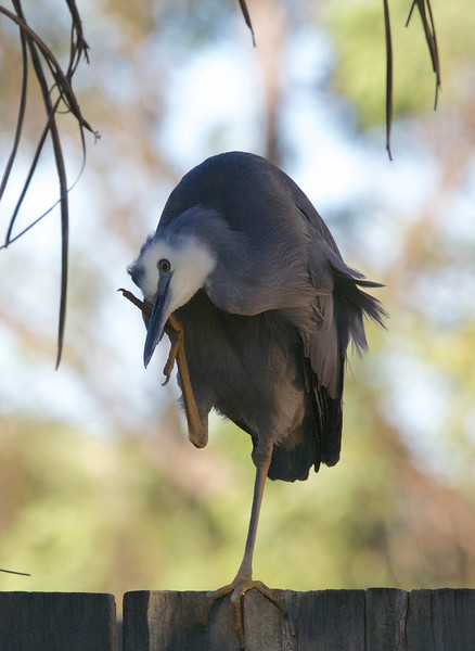White-faced heron, Buderim, Australia