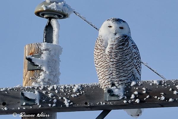 2010 Dec 11 First Snowy Owls