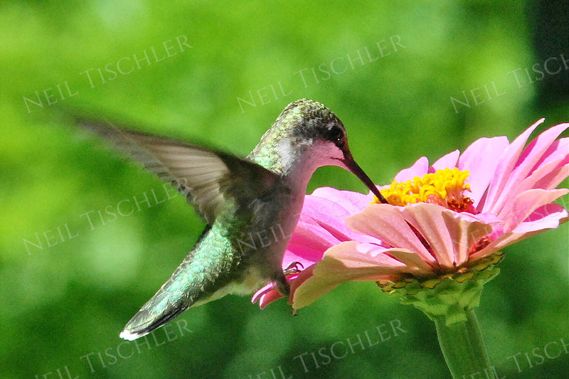 #947  A ruby throated hummingbird perched on a pink zinnia petal