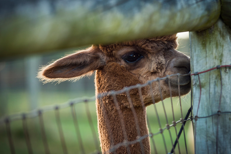 Brown Alpaca through fence_DSC2764b.jpg