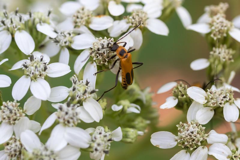 20190831-HobbsStatePark-VanWinkleTrail-WildflowersWithBug-1.jpg