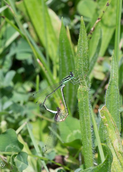 05-29-17.  Clear shot of Eastern Forktails, Ishnura verticalis,  in breeding wheel.