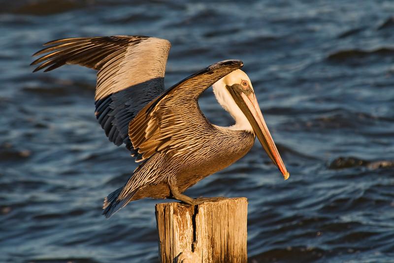 Pelican - Brown - Apalachicola, FL - 02