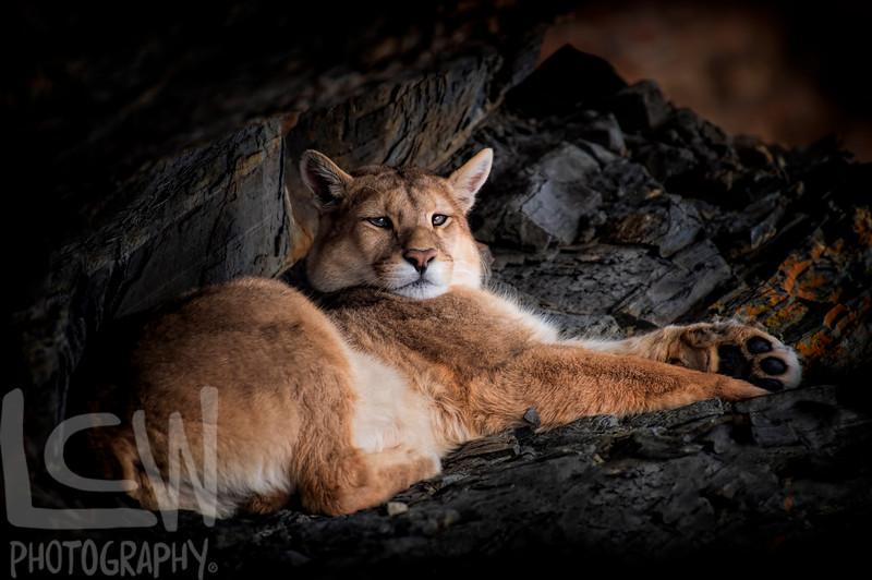 Puma Resting