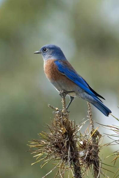 Bluebird - Western - female - Guajome Regional Park - Oceanside, CA