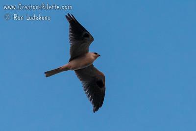 White-tailed Kite (Elanus leucurus )