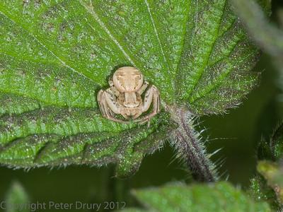 Ground Crab Spider (Xysticus sp.)