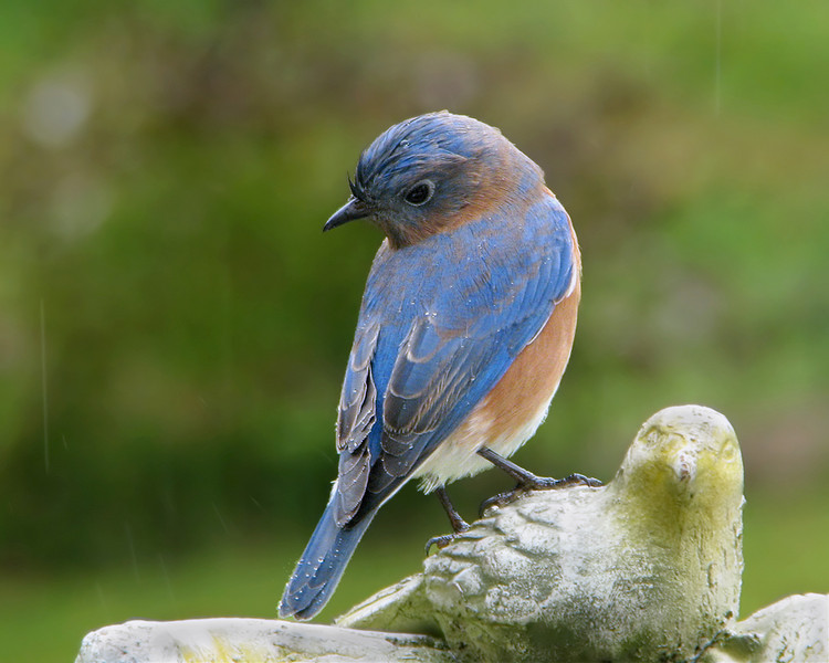 bluebird_4608.jpg