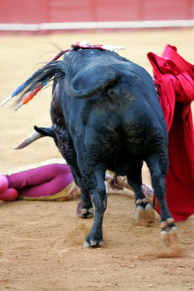 The bull knocking down the Spanish bullfighter Anibal Ruiz, who was not gored. Sequence of five images. Bullfight at Real Maestranza bullring, Seville, Spain, 15 August 2006.