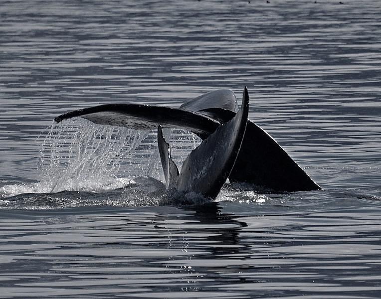 Alaska, Humpback Whale, Inside Passage