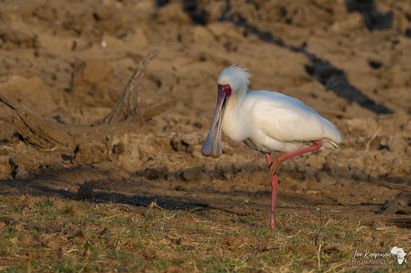 The African Spoonbill Stork