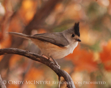 Big Bend Titmice, Towhees