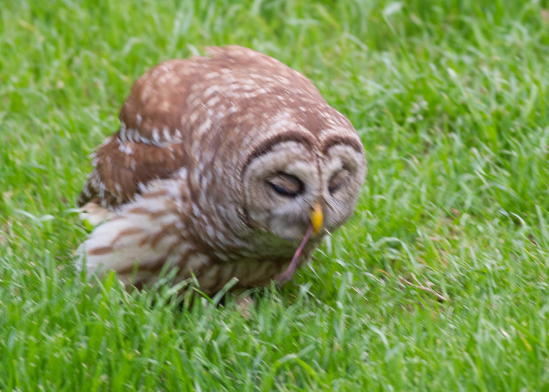 Owl eating Earthworm.jpg