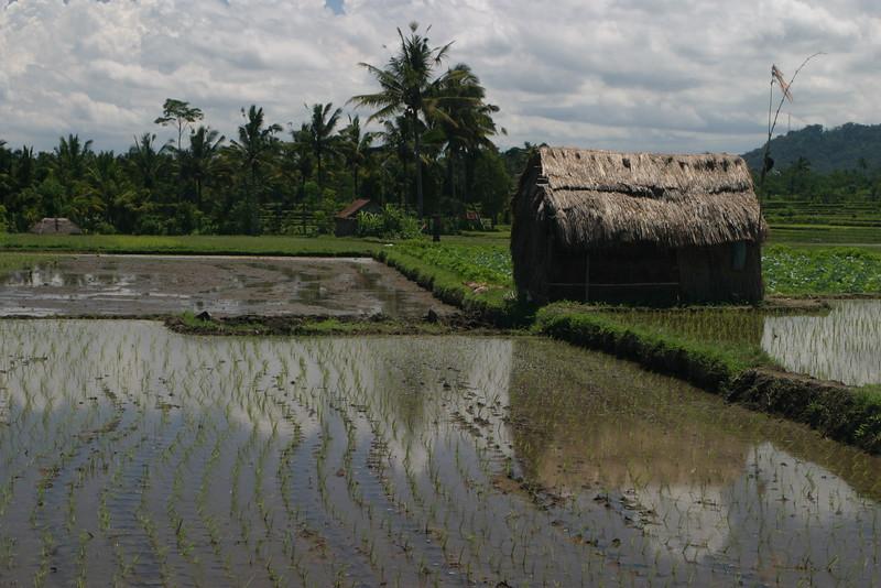 IN616-Bali#rice fields.JPG