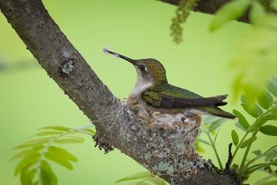 Humming Bird Nest Summer 2014