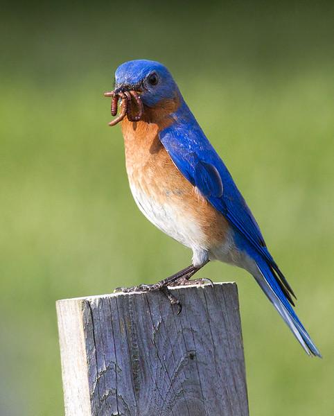 bluebird_8693140511_o.jpg