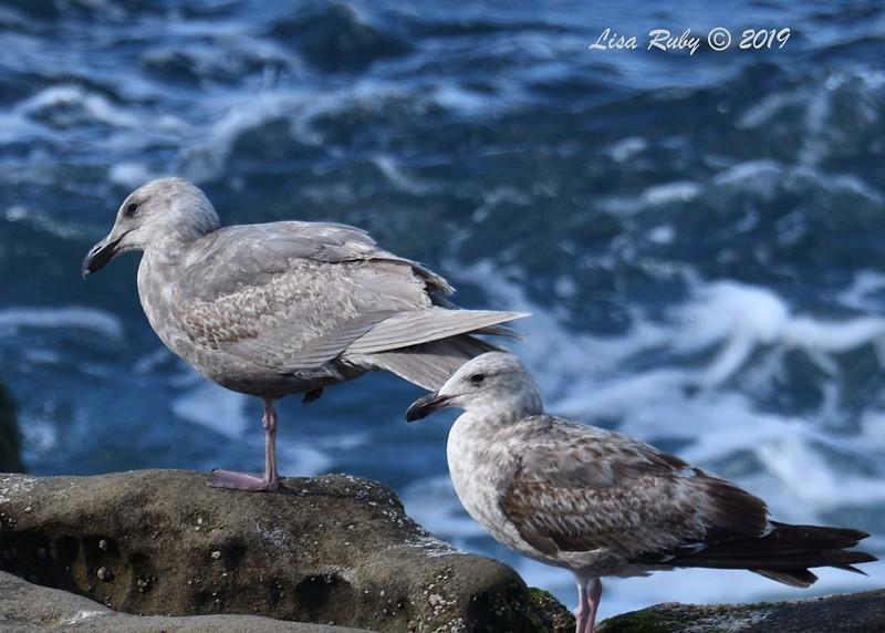 Glaucous Winged and Western Gulls - 3/8/2019 - La Jolla Cove