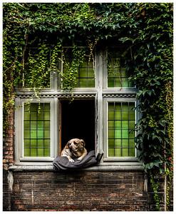 A Labrador in Brugge