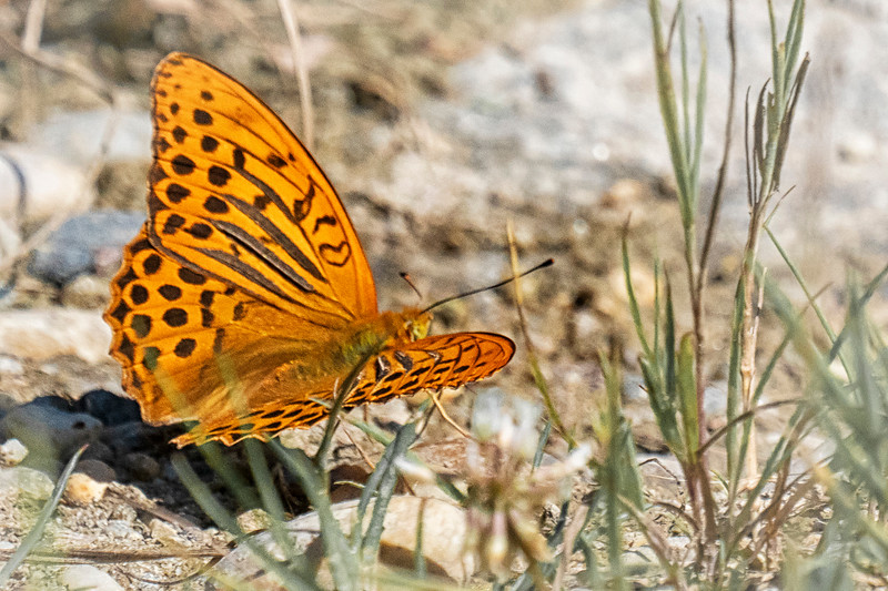 Kaisermantel - Silver-Washed Fritillary