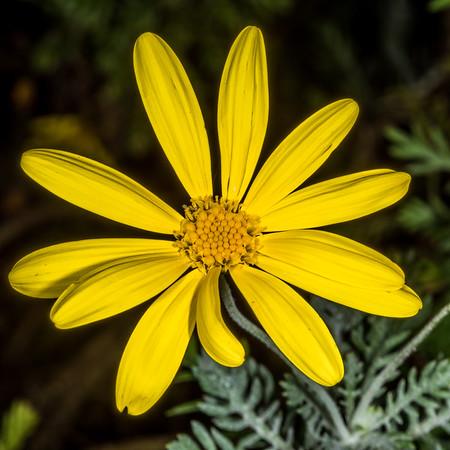 Golden bush daisy