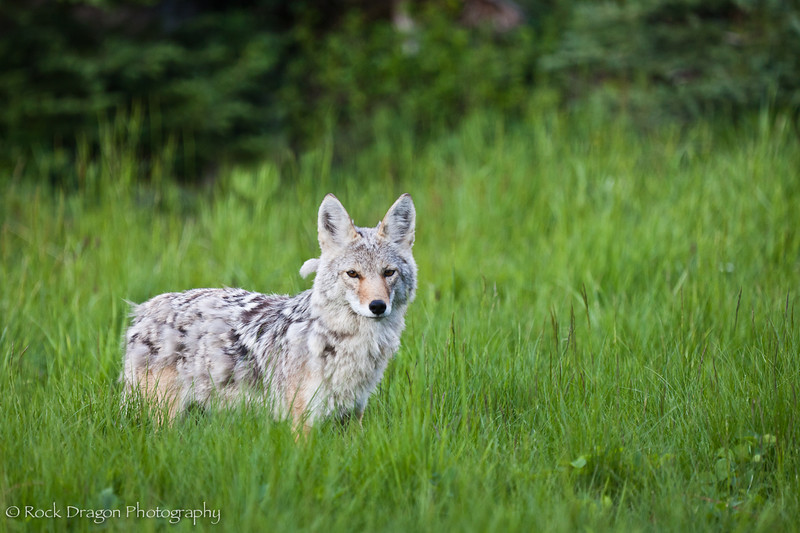 A coyote in Peter Lougheed Provincial Park.