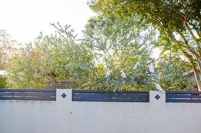 Cockatoos in Wattle Tree