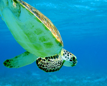 Turtle Dive, Belize