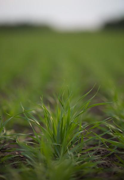 Wheat Row