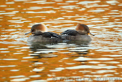 Mergansers, Comorants and other Waterfowl