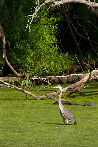 great-blue-heron_6047022805_o.jpg