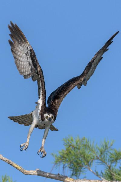 2021_KSMetz_Florida_Osprey Trip_April08 and 09_NIKON D850_6524-Edit.jpg