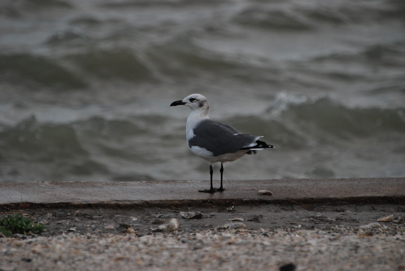 Laughing Gull, TX