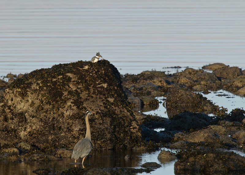 Great Blue Heron and a King Fisher