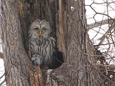 Owls of Eurasia