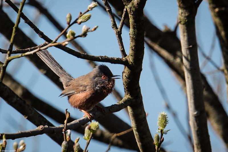 Dartford Warbler Singing