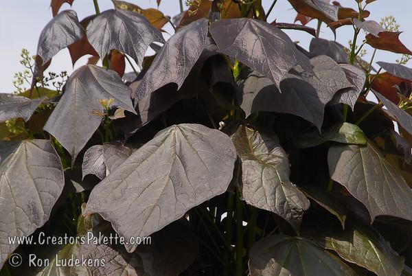 Catalpa erubescens 'Purpurea' (Purple Catalpa)